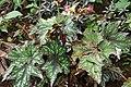 Begonia rex 4zz.jpg