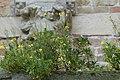 Begroeiing op de Onze-Lieve-Vrouwkerk te Damme - 369313 - onroerenderfgoed.jpg