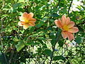Belin-Béliet, dahlias au mois d'août.jpg
