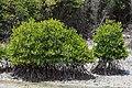 Benoa Bali Indonesia-Mangrove-forest-01.jpg
