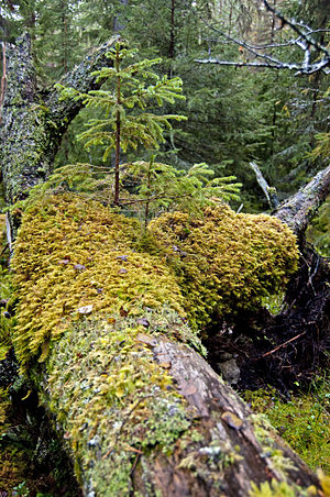 Decomposition - Decomposing fallen nurse log in a forest