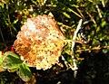 Betula pubescens var tortuosa.JPG