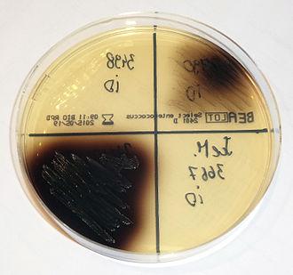 Bile esculin agar - Enterococcus colonies (black) growing on BEA