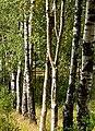 Birches in Grytan, Immestad.jpg