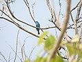 Bird Verditer flycatcher 04.jpg