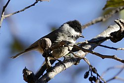 Black-bibbed Tit.jpg