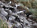 Black-browed Albatross flying over West Point Island (5545942440).jpg