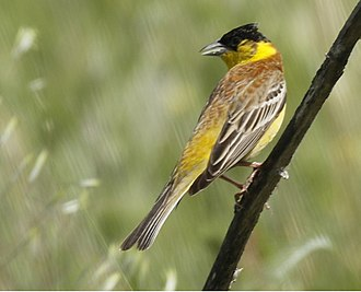 Black-headed bunting - Struma River Valley - Bulgaria