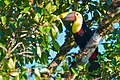 Black-mandibled Toucan 2012.jpg