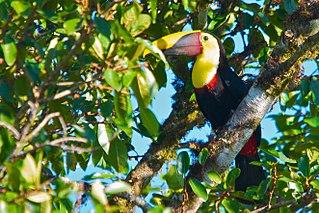 Yellow-throated toucan species of bird