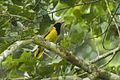 Black-winged Oriole - Kakum NP - Ghana 14 S4E2635 (16202996242).jpg