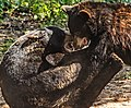 Black Bears Tumble (43427477695).jpg