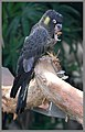 Black Cockatoo at Cairns-01and (3122927467).jpg