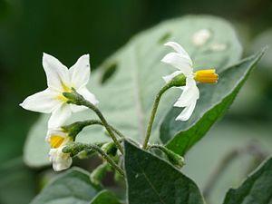 Solanum nigrum - Black nightshade flowers