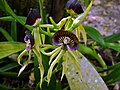 Black Orchids (Encychlia cochleatum) (6776046663).jpg