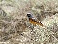 Black Redstart (Phoenicurus ochruros) (51210501490).jpg