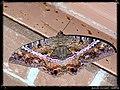 Black Witch Moth - female (Ascalapha odorata) - Flickr - pinemikey.jpg