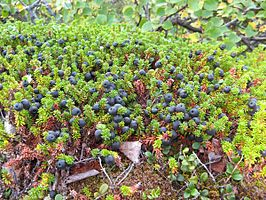 Black crowberry.jpg