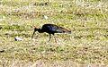 Black ibis. Pseudibis papillosa - Flickr - gailhampshire.jpg