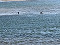Black swans in estuary at Nelson SA.jpg