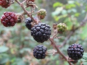 Rubus ulmifolius - Image: Blackberries Rubus ulmifolius 2