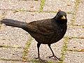 Blackbird (6857968594).jpg