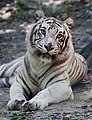 Blind White Tiger (3853710854).jpg