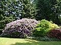 Bloeiende rhododendron in Kapelse tuin.jpg