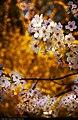 Blossom (5626906810).jpg