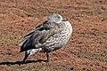 Blue-winged goose (Cyanochen cyanoptera).jpg
