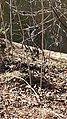 Blue Heron Ayr Mount Hillsborough NC 123216 (31856087822).jpg