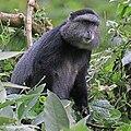 Blue monkey (Cercopithecus mitis stuhlmanni).jpg