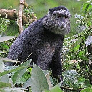 Blue monkey Species of Old World monkey