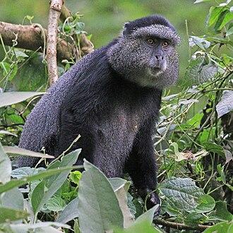 Blue monkey - C. m. stuhlmanni Kakamega Forest, Kenya