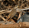 Bluethroat (Luscinia svecica) near Hyderabad W IMG 4912.jpg