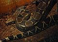 Boa Constrictor (3264149478).jpg