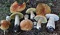 Boletus chippewaensis A.H. Sm. & Thiers 948984.jpg