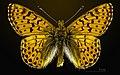 Boloria pales pyrenesmiscens MHNT CUT 2013 3 23 Lac d'Aumar 65 Dorsal.jpg