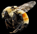 Bombus huntii, M, side, Pennington County, SD 2012-11-14-15.41.21 ZS PMax (8254457543).jpg