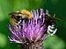 Bombus pascuorum - Bombus bohemicus - Cirsium heterophyllum - Keila.jpg