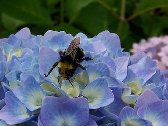 Bombus vosnesenskii - Image: Bombus vosnesenskii on Blue Hydrangea in South Everett Washington, USA