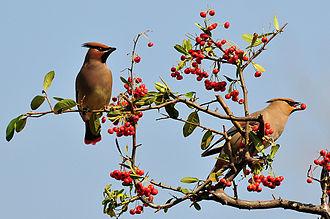 Japanese waxwing - Two Japanese waxwings feeding on berries