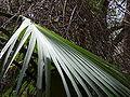 Borassus aethiopum 0031.jpg