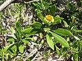 Borrichia arborescens.jpg