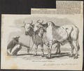 Bos indicus - 1859 - Print - Iconographia Zoologica - Special Collections University of Amsterdam - UBA01 IZ21200147.tif