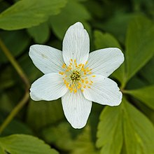 Six-petaled white flower