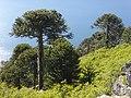 Bosque de araucarias. Cerro junto a Icalma. Región de La Araucanía. Chile.jpg