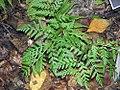 Botrychium virginianum 0zz.jpg