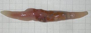 Trematoda class of worms