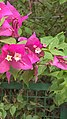 Bougainvillea bloomed completely.jpg